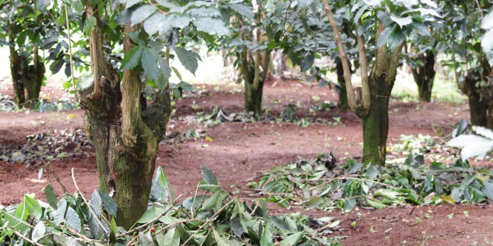 Kenyan coffee trees