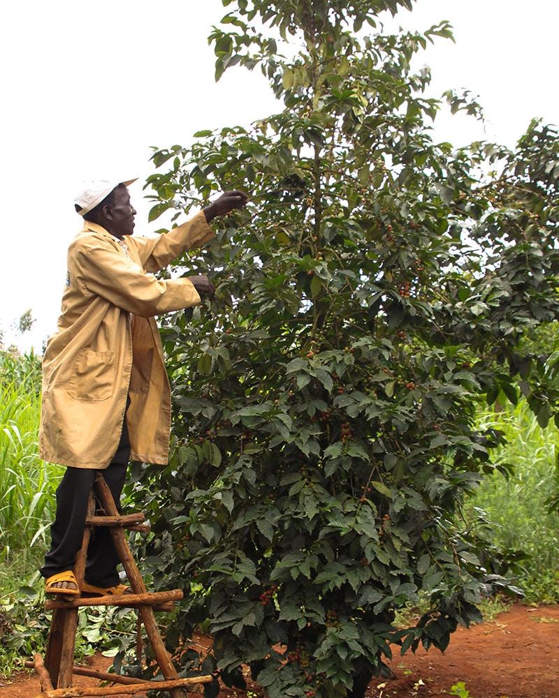 Coffee Berry Harvesting
